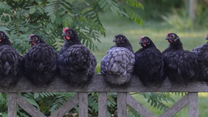 hens sitting on a fence