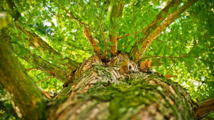 looking up into a large tree