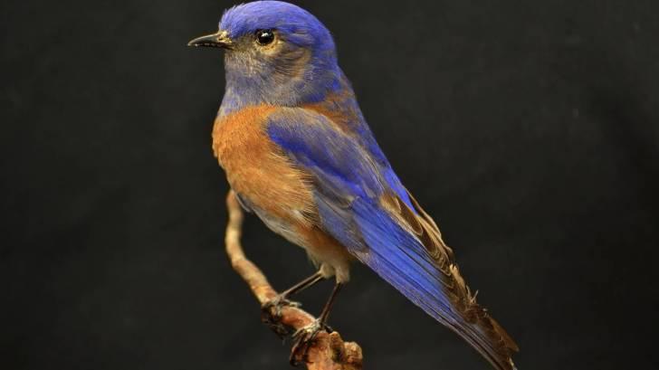 american blue bird