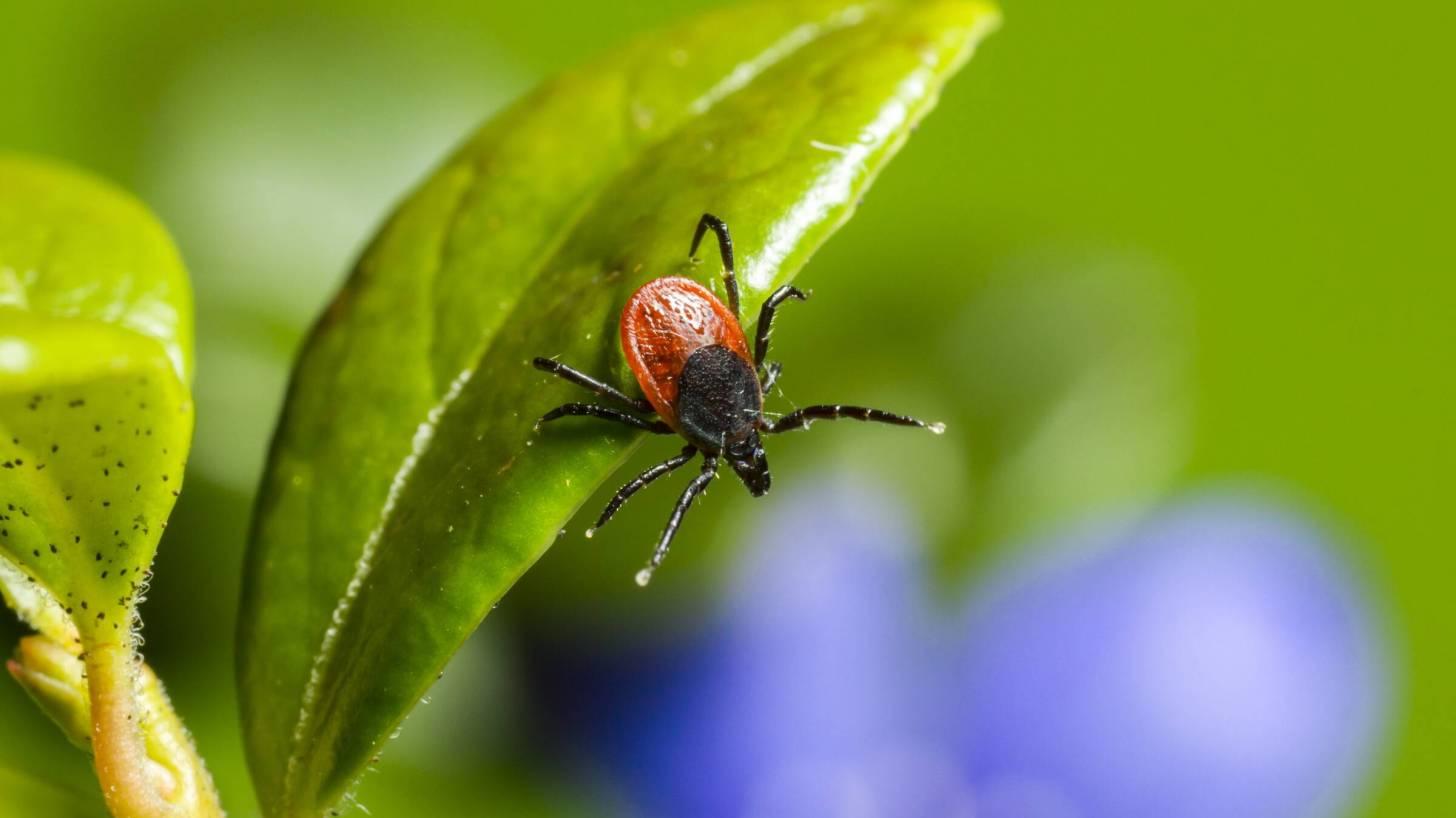 tick hanging on a green leaf