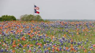 texas and us flag, field of blue bonnets