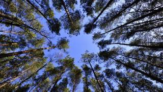forest trees looking up through to the sky