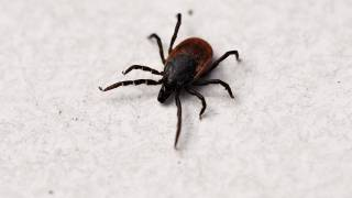 tick that causes lyme disease