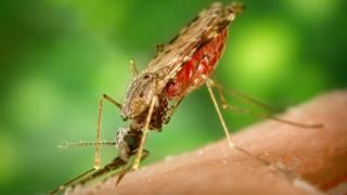 mosquitoe biting a human